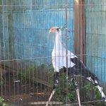 動物園の一コマ「美しくウォーキングするヘビクイワシ」 pic.twitter.com/AIQfMQE…