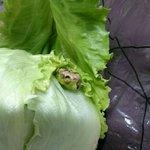 スーパーで買ったレタスからカエルが!冷蔵庫で三日間耐えたかわいいカエル!