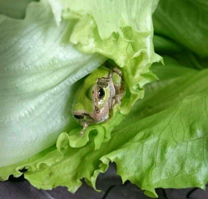 スーパーで買ったレタスからカエルが!!冷蔵庫で三日間耐えたかわいいカエル!!
