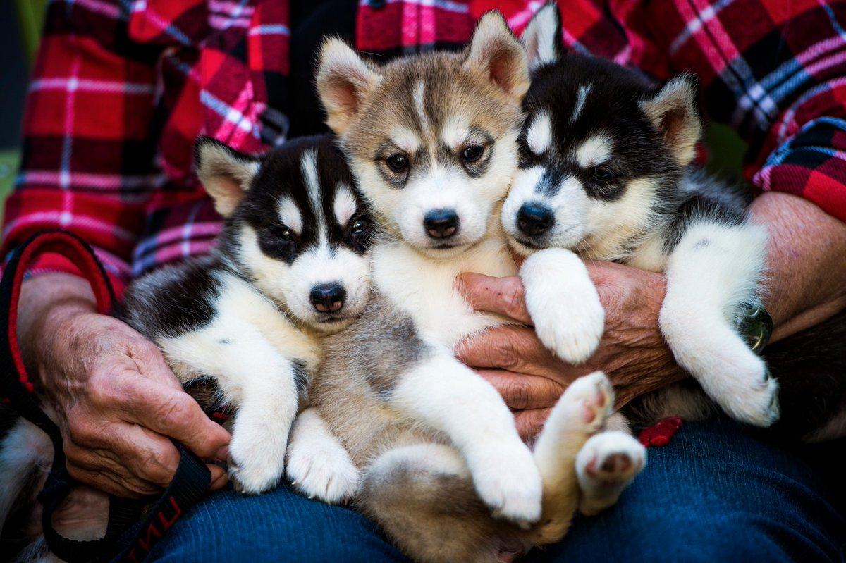 "Northeastern U. on Twitter: ""Husky puppies, @CGIU, an #EmpowerNU ... | Siberian Husky Puppies Boston Ma"