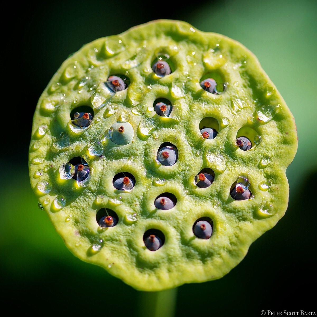 Peter Scott Barta On Twitter Lotus Flower Seeds Canon5diii