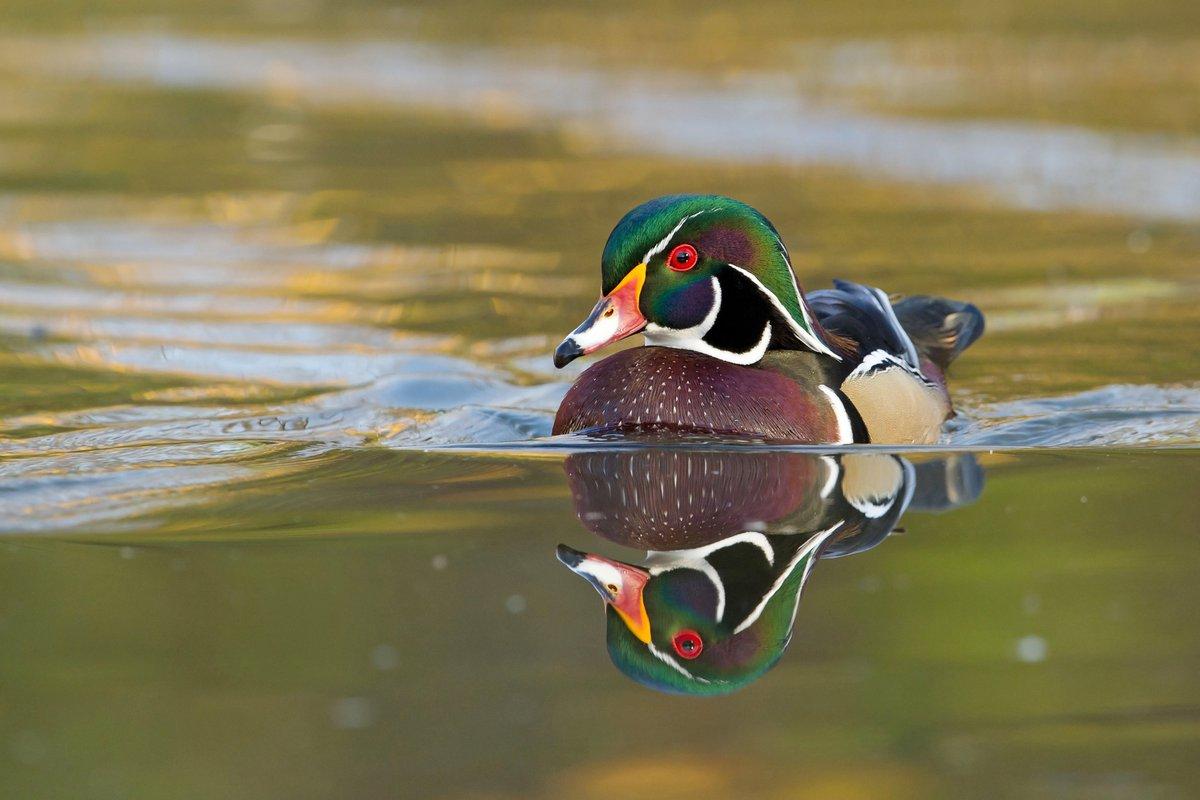 ducks unlimited can ducanada twitter