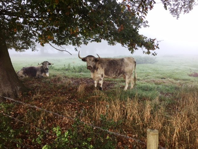 Cattle return to Loseley! Amber & Majical are the first two ladies to arrive of our new Loseley English #Longhorn beef herd. @LonghornOffice