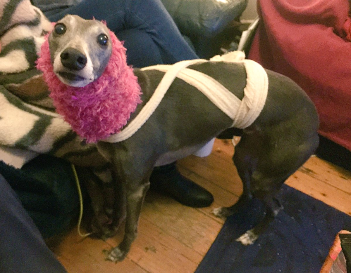 Snood to muffle fireworks bangs, plus special wrap for calming = I have accidentally made my dog into Lady Gaga https://t.co/fzt9nusdlz