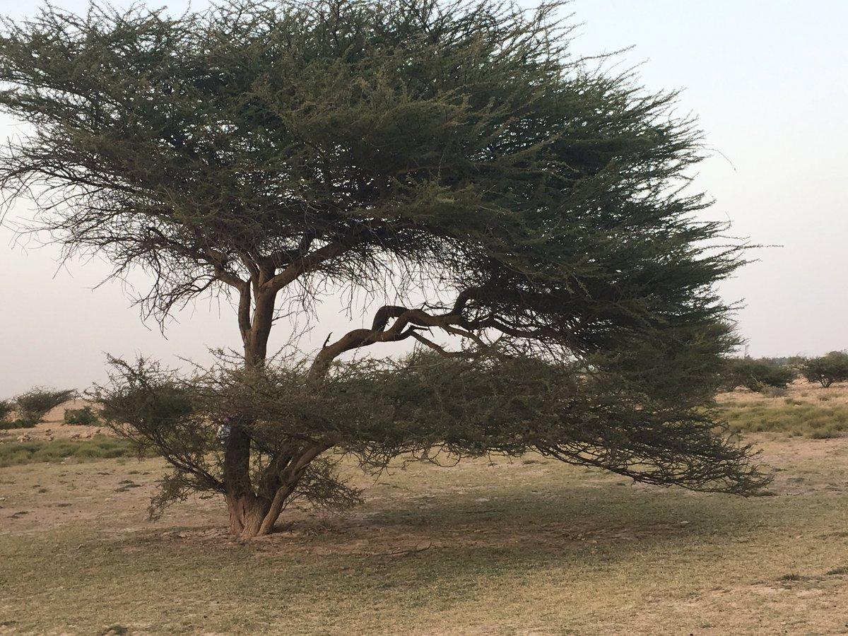 صور أشجار السمر المهددة بالإنقراض DNuWzLIV4AAp0oe