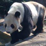 おはようございます。上野動物園開園です。Good morning. We are open toda…