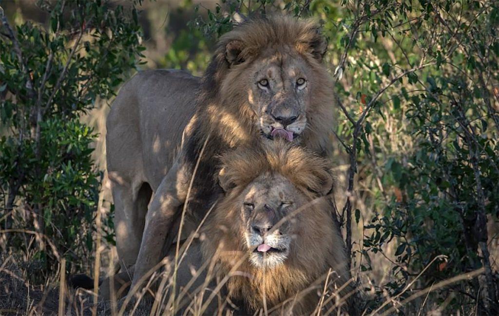 Leones gay en kenia