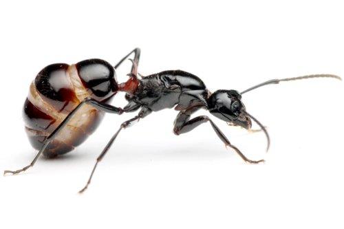 トゲアリの大きなコロニーを調べていたら、腹部が大きく膨れた女王アリが見つかりました。 働きアリが数万匹の大きなコロニーになると、女王アリの腹部も立派になります。