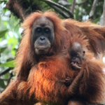 Scientists have identified a new species of #GreatApe on the Indonesian island of #Sumatra: the #TapanuliOrangutan https://t.co/6bNnW69zSM