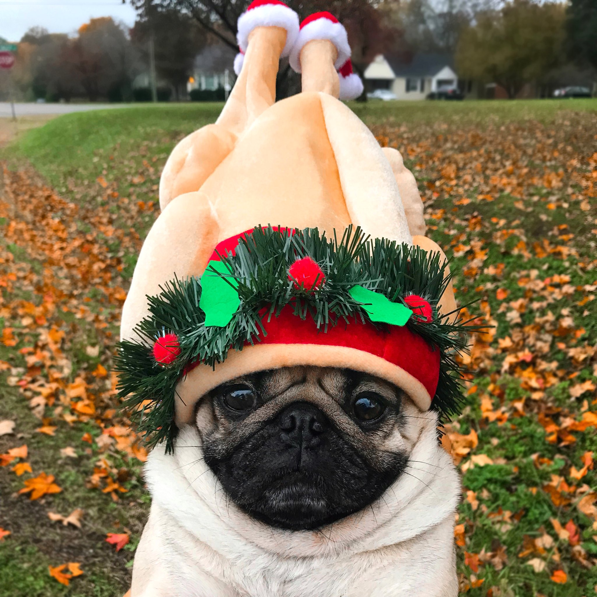 thanksgiving pug doug the pug on twitter quot when you ve already started 5781