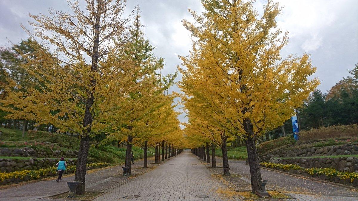 先日の続きです。 あづま総合運動公園の イチョウ並木。 今はこの頃よりは また違うだろうと思います。 #近いよ福島