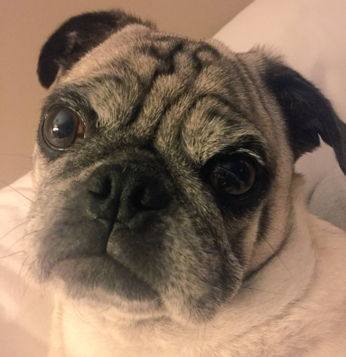 Momma, where you been? You came home very late tonight. I don't like having dinner late! #puglife #elvis #latedinner<br>http://pic.twitter.com/PqZrzxCdKg