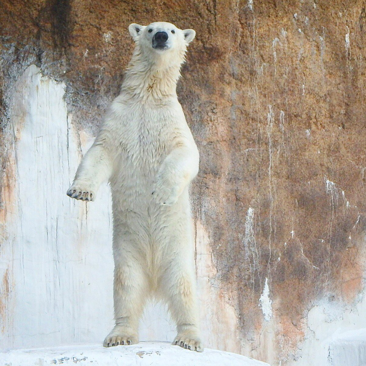 Momo the #polarbear who was the 18-month-old at #Osaka Tennoji #zoo in May 2016 #animal #animals #animalLover #animallovers #travel #travelling #trip #travelblog #japan<br>http://pic.twitter.com/MH8IvkuIBa