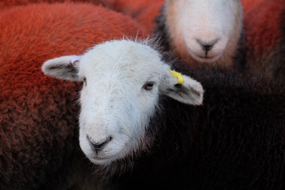 Thank you for all your #SheepOftheWeek entries, this weeks winner is @billplumtree, we just couldn&#39;t resist this little face. #Herdwick #NativeBreed #wool #sheep365 <br>http://pic.twitter.com/eZffCDZJOp