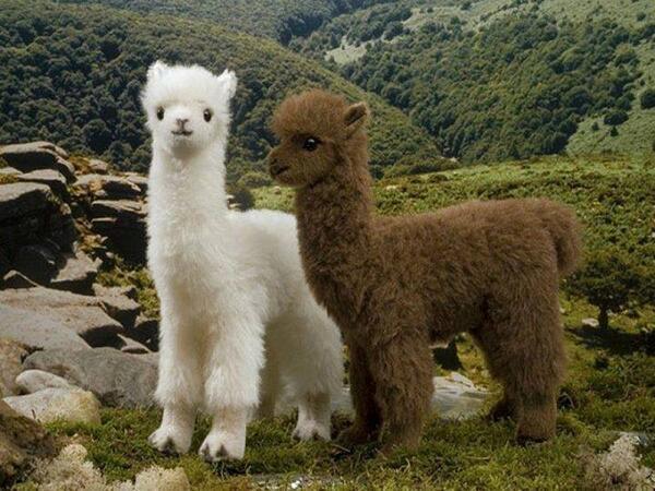 Happy Friday Twitter  ⚘  Alpacas #LaPaz #Potosi #Bolivia <br>http://pic.twitter.com/kDPXvA8GsP