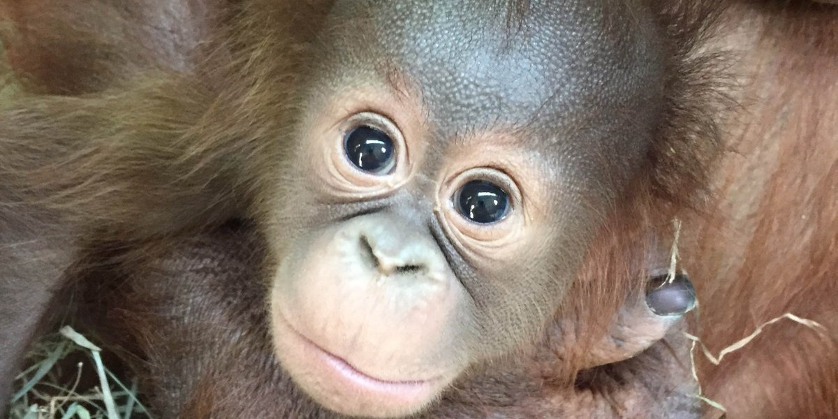 Orangutan infants live with their mothers for about 7 yrs. Here's a #throwback photo of Redd! He still spends all of his time with his mom Batang. #OrangutanCaringWeek<br>http://pic.twitter.com/LF7BNVkUDd