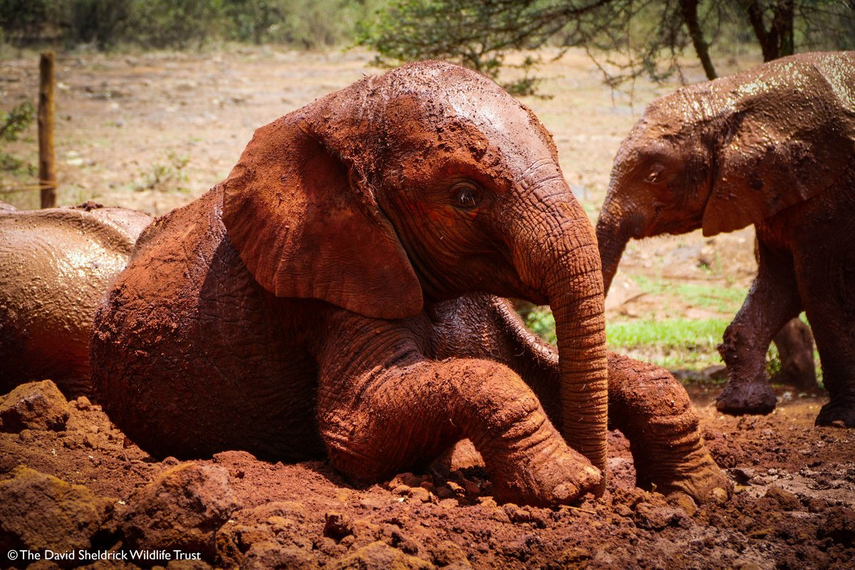 Esampu enjoys a mud bath! #didyouknow mud helps to protect her delicate skin, removing parasites &amp; acts as a natural sunscreen! <br>http://pic.twitter.com/7WclB6Ajra