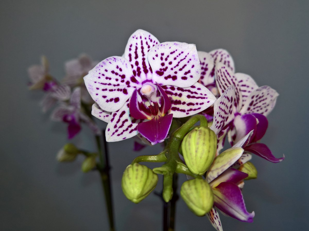 Happy #PhalaenopsisPhriday. Phal. Mini Purple Striped #orchid, a fab gift from my mother  <br>http://pic.twitter.com/0WLKf7Rdmj