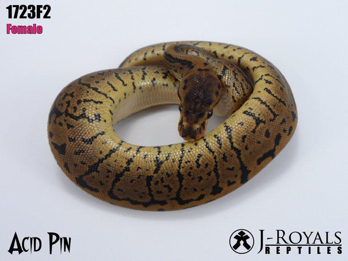 Acid Pin Female Ball Python by J-Royals Reptiles, $12000 #snakes #reptiles #pets #morph #morphs #herps #pet #herp  https://www. morphmarket.com/us/c/reptiles/ pythons/ball-pythons/84497?utm_source=twitter&amp;utm_medium=post&amp;utm_content=84497&amp;utm_campaign=twitter-featured-ad &nbsp; … <br>http://pic.twitter.com/kFzV95mXO2