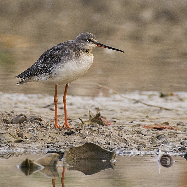 Red #shank winter visitor in #bikaner #nikon #birds #nikonshowcase  @NikonIndia @BirdLife_Asia @birdcountindia @NGTIndia @birdsofindia @LPMagIn @NatGeoPhotos @natgeowild @orientbirdclub<br>http://pic.twitter.com/zZ0OVna2Xy