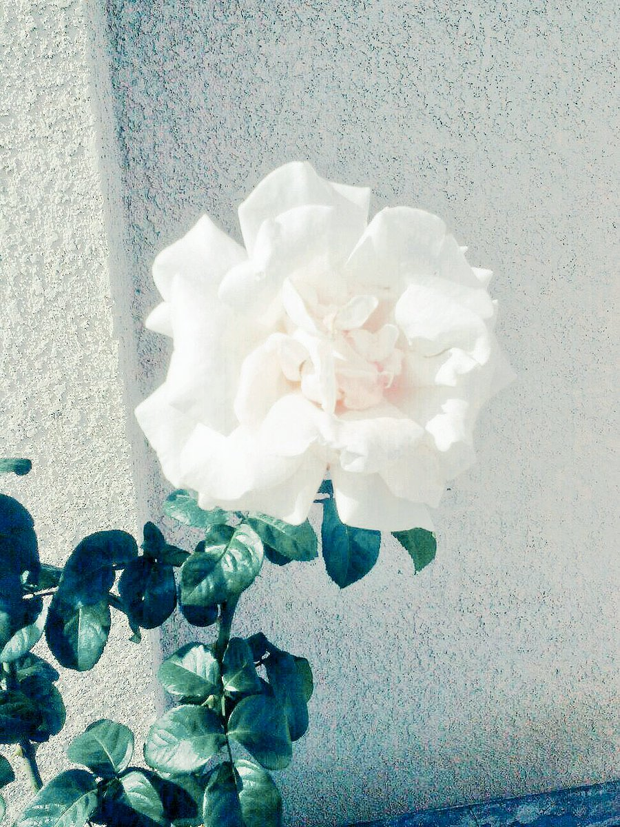 #ForYou  A Beautiful white rose from my mother's garden.   #white #rose #flower<br>http://pic.twitter.com/7hi0Xjx7we