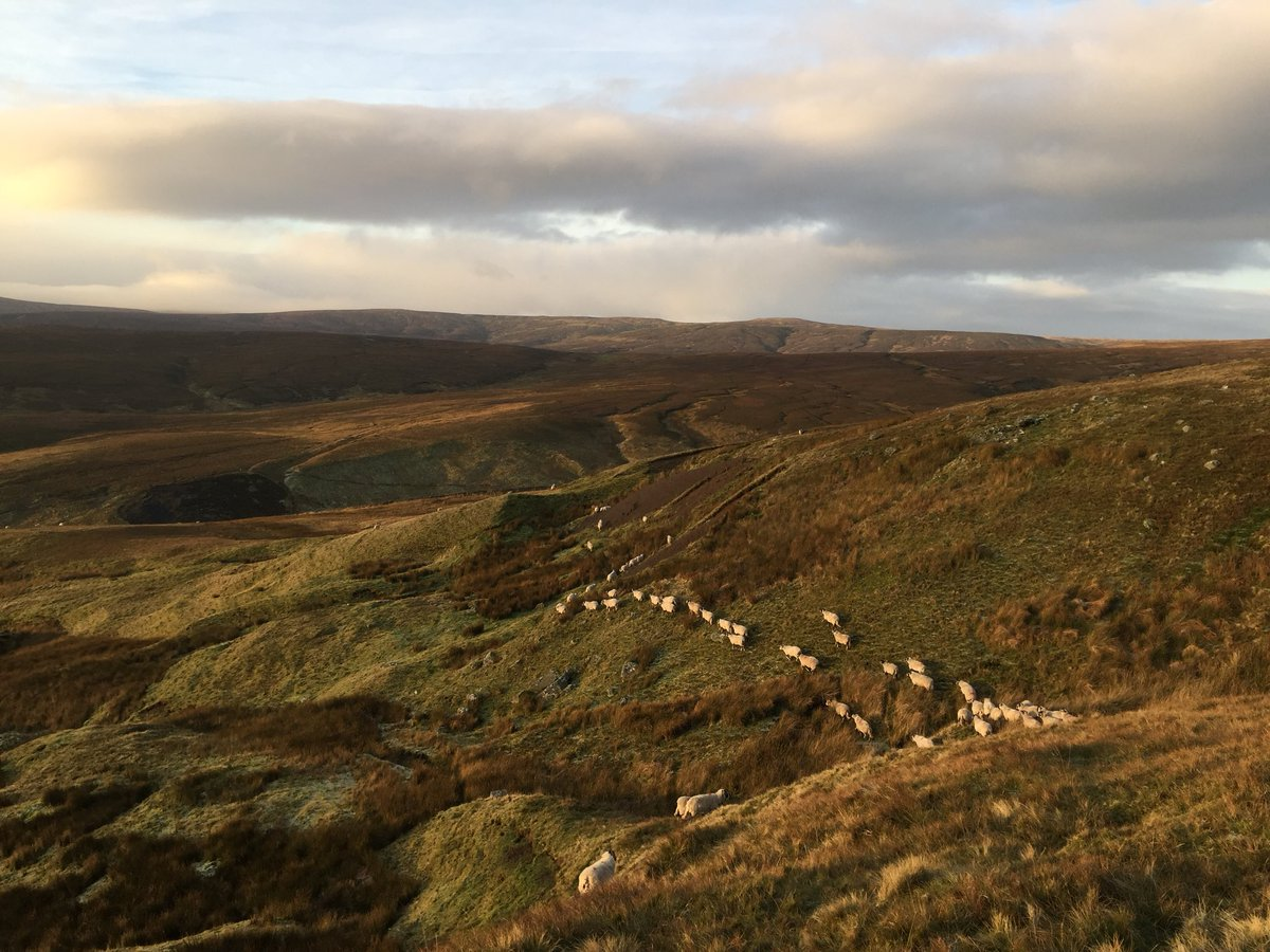 Gathering the sheep in the glow of the rising sun. #Yorkshire #Swaledale <br>http://pic.twitter.com/rTcLZAuWFS
