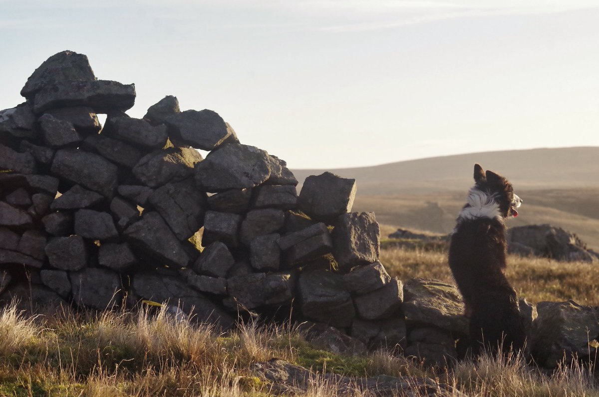 Between a rock and a hard place.  #sheepdogs #hillshepherd #swaledale <br>http://pic.twitter.com/CrMjC9nww5