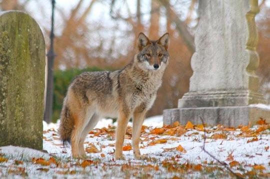 Getting more &#39;wolflike&#39; is the key to the future for coyotes:  https:// apnews.com/723302aed1f241 c5a007daff56671420 &nbsp; …  (from @AP) ... @RolandKays quoted @NCState_FER #CBIP2017 #conservation <br>http://pic.twitter.com/MvLxbLzuq5
