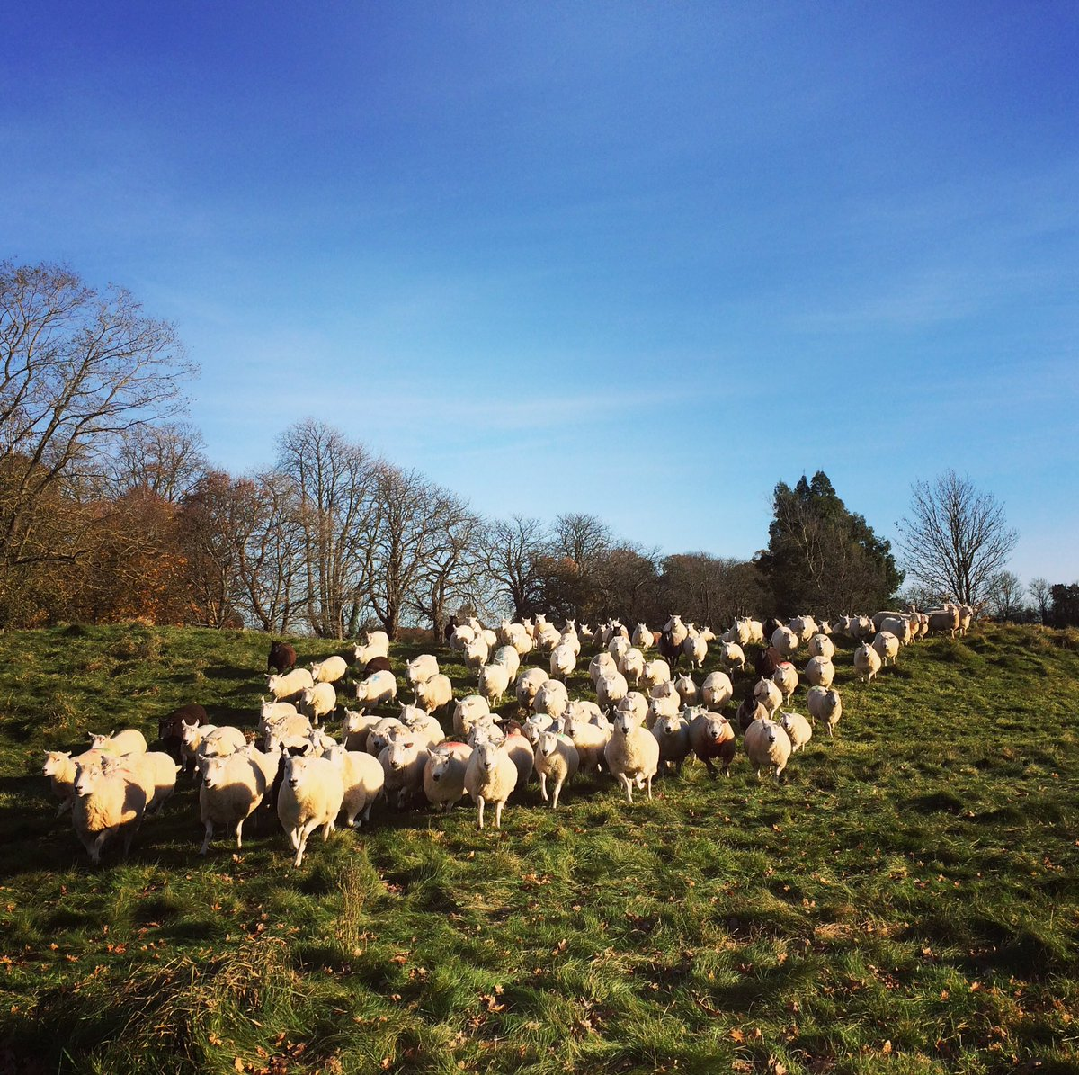 Move time for the #highlanders and #Cheviots #stampede #sheep365 #freshgrass<br>http://pic.twitter.com/3PUXScAYqh