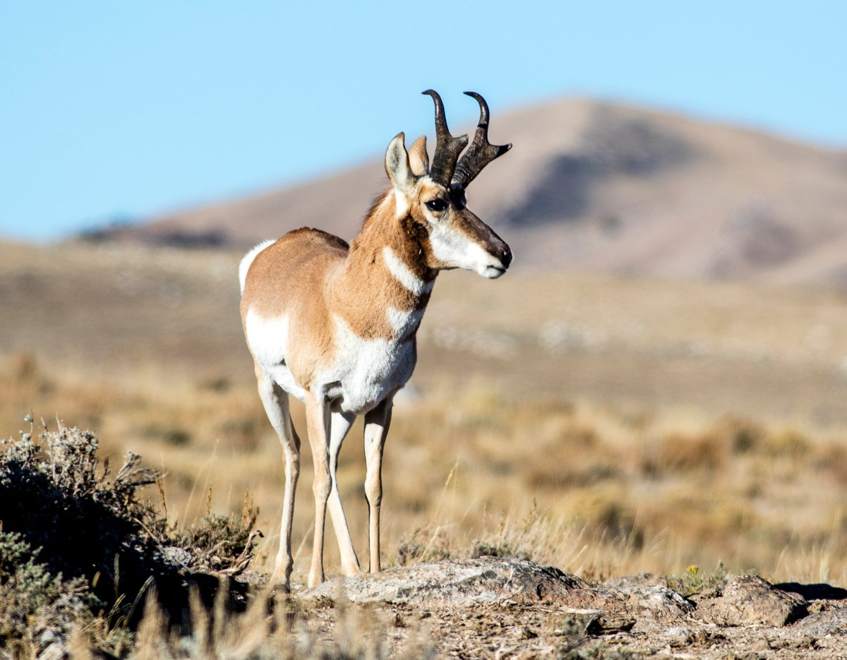 #DYK that Wyoming has more pronghorn than the rest of the continent combined? #FunFactFriday #ThatsWY<br>http://pic.twitter.com/URYEd1vMmG