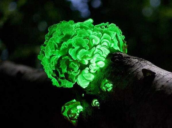RT @InfoMyT: El hongo bioluminiscente Mycena lux-coeli brilla en la obscuridad para poder atraer insectos. https://t.co/P78l6I7z2l