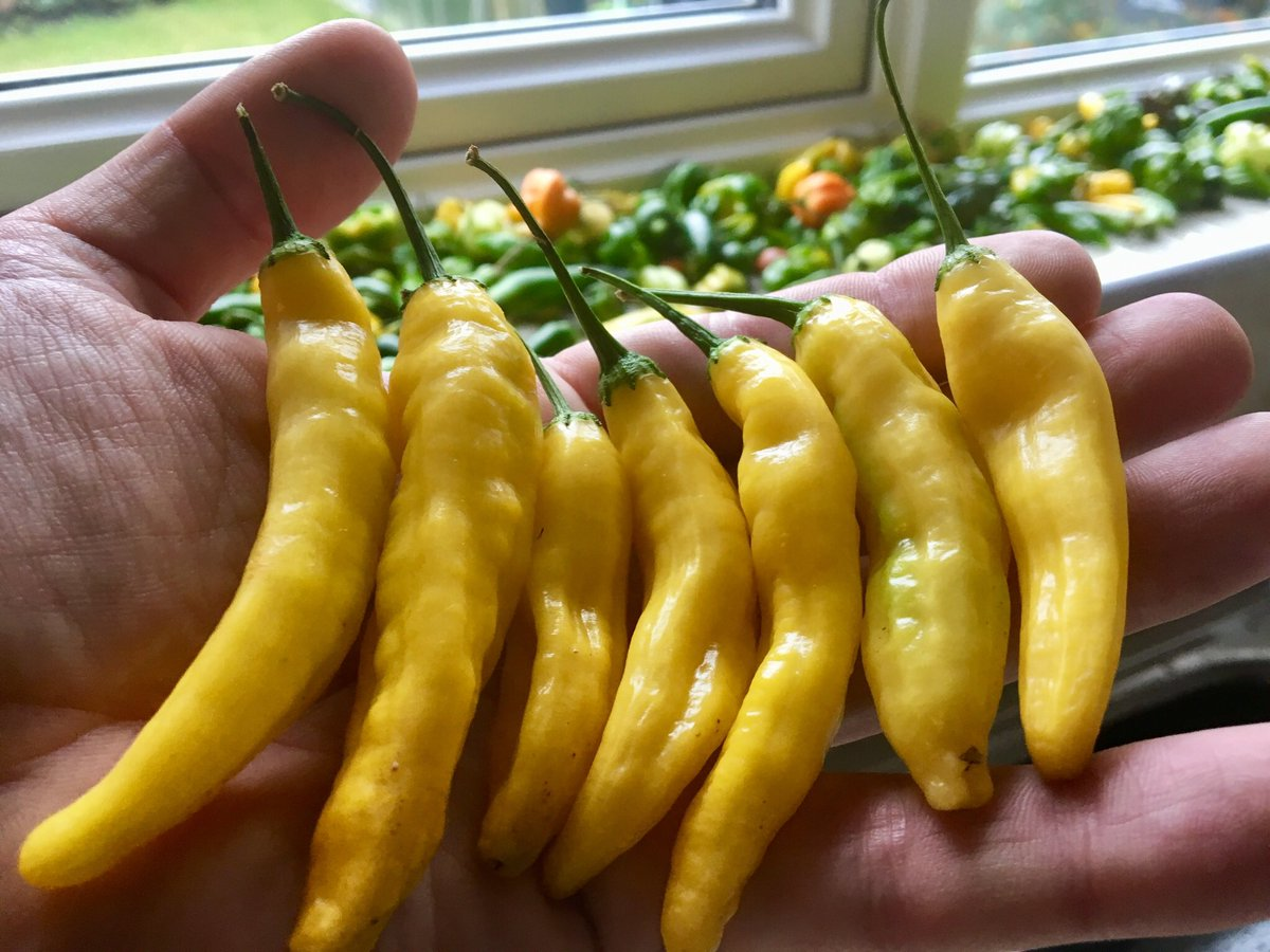Ripening the last of the chillies on the window sill #allotment #greenhouse #spicy #growyourown<br>http://pic.twitter.com/5PA78I8w8g