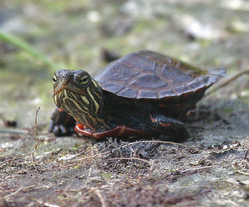 How do #turtles breathe while they hibernate at the bottom of ponds all winter? Through their skin! #FunFact #FunFactFriday<br>http://pic.twitter.com/Vd2qrf3QYh