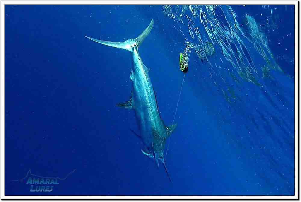 Canavieiras, Brazil - Capt. Antonio Amaral on Wahoo went 1-2 on Blue Marlin (800) and 1-1 on White Marlin.