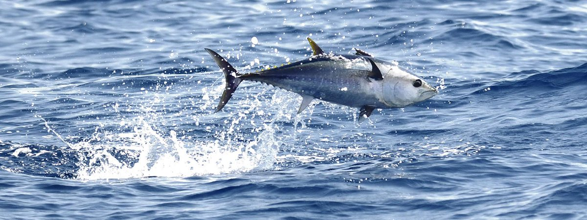 Their main characteristic of TUNA is that they are fast and strong.  http://www. coastalfishing.com  &nbsp;   #tuna #strong #fishing #tackle #fish <br>http://pic.twitter.com/LQfXsZMu29