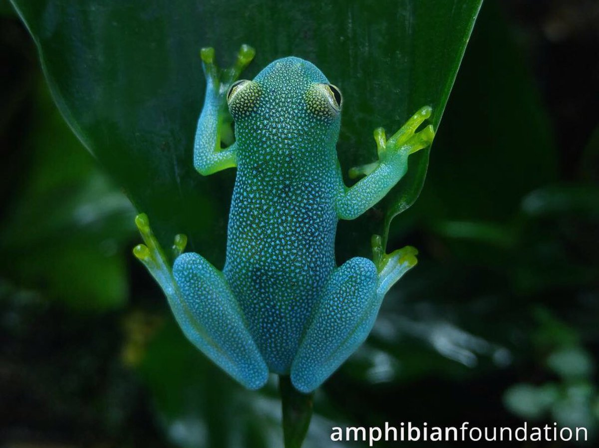 It&#39;s #FrogFriday-- time to get ready to hop right into another great #weekend! We never get tired of sharing photos of some of the beautiful works of living art we are lucky enough to share our world with. (Grainy Cochran Frog, Cochranella granulosa)⠀ <br>http://pic.twitter.com/Z3SGhKdoca
