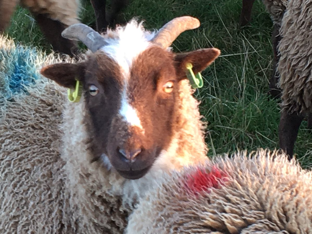 She stands out a mile! But I do love this little ewe. Pure Loaghtan, a throw back to ancient Norse sheep #manxloaghtan #sheep365 #isleofman<br>http://pic.twitter.com/tgkPlIVEZx
