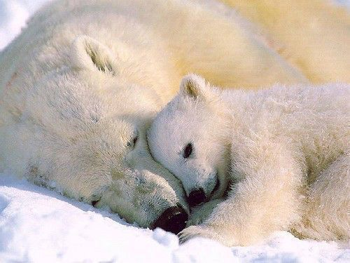 Polar bears are on track to going extinct in our lifetime. It&#39;s time we fight #ClimateChange and protect them. #GoVegan<br>http://pic.twitter.com/Oh7vvWl5o6