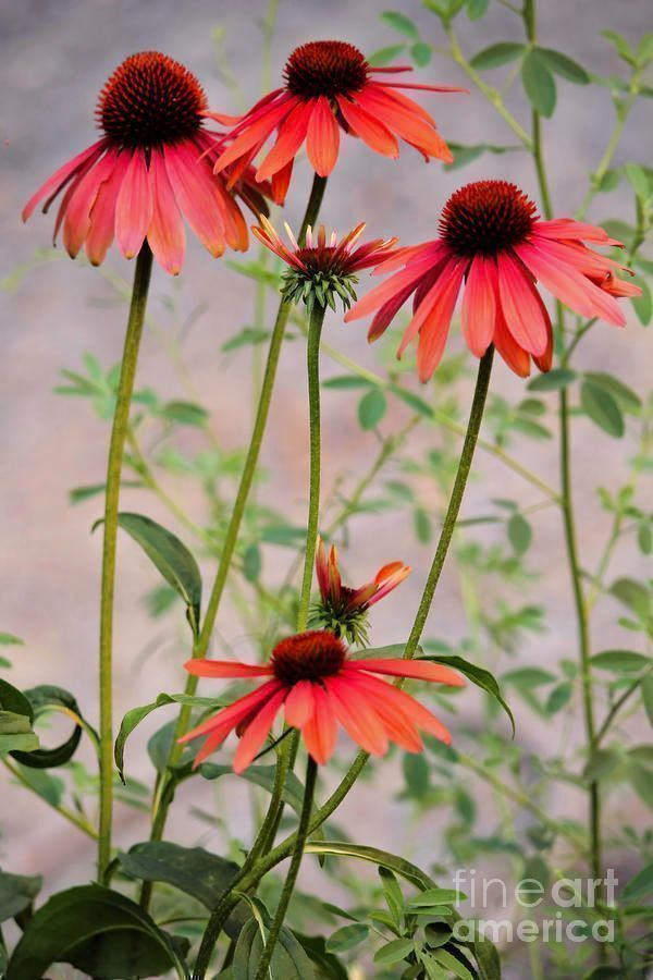 The Coneflower Collection 5 by Victor K  http:// bit.ly/2zHHC99  &nbsp;   #HomeDecor #wallart #art #cards #home #style #flower #floral #coneflower<br>http://pic.twitter.com/mIxhqCNh33