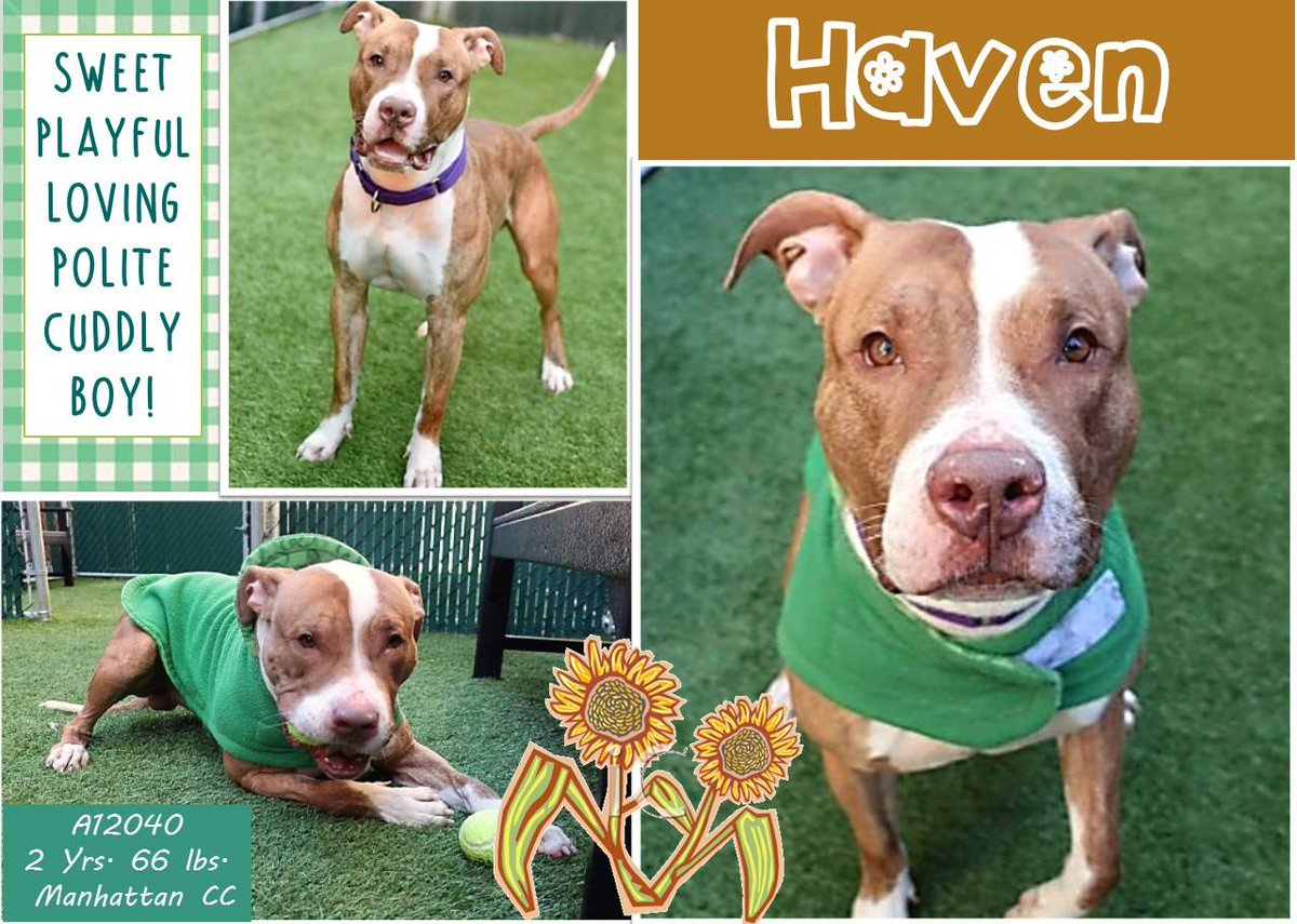 HAVEN STILL ALIVE!  http:// nycdogs.urgentpodr.org/haven-12040/  &nbsp;     #NYC KILL TARGET ATHLETIC BOY FRIENDLY RESPECTFUL SOCIAL LOVE TO PLAY BALL VERY SMART COULD YOU SAVE ME? RESERVE MY LIFE MSG  https://www. facebook.com/mldsavingnycdo gs/ &nbsp; …  … … HELPDOGS@URGENTPODR.ORG #NYC ANIMAL CARE CENTER STARTS DAILY KILLS AFTER NOON <br>http://pic.twitter.com/1PWgaRwoSh
