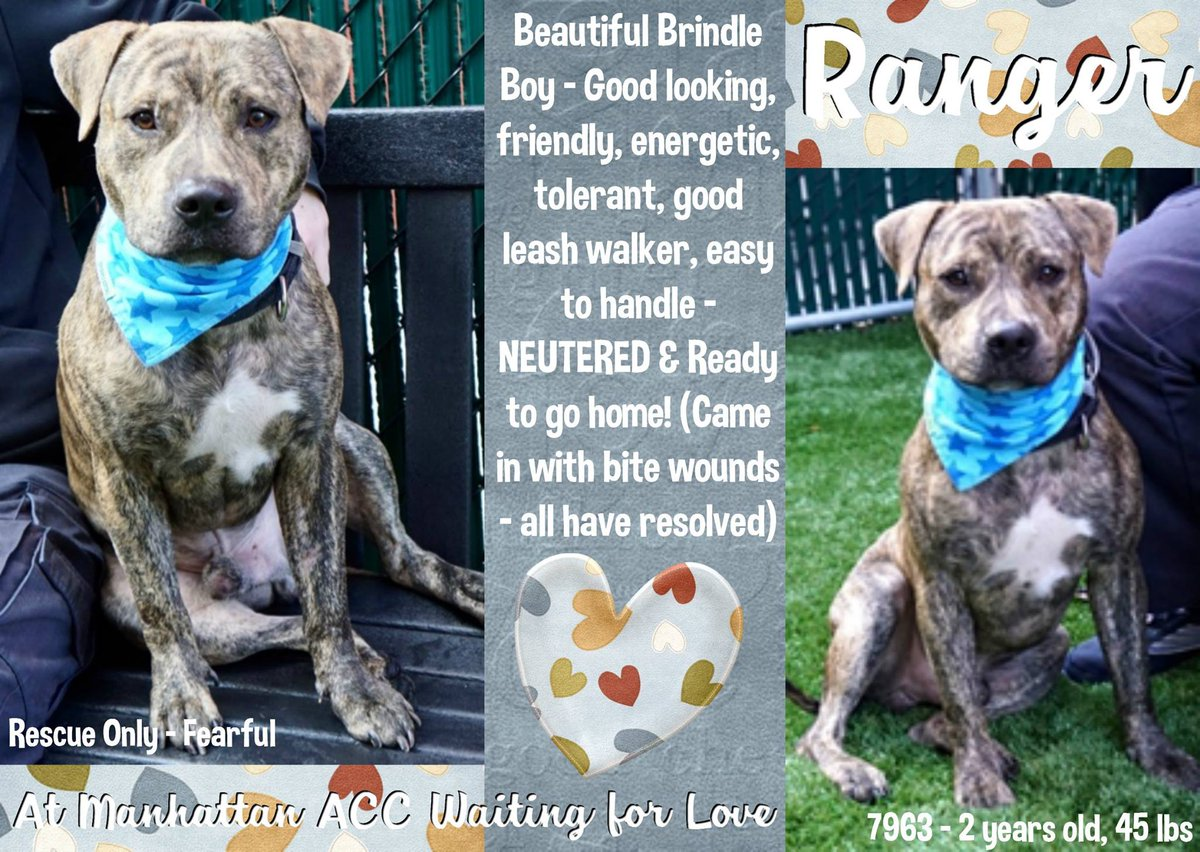 RANGER STILL ALIVE!  http:// nycdogs.urgentpodr.org/ranger-a112599 2/ &nbsp; …  … … #NYC KILL TARGET YOUNG BOY HEALED BITE WOUNDS LOVE HUMANS SOCIAL KEPT CRATED MOST OF THE TIME NEED #RESCUE SAVE MY LIFE! FOSTERING IS FREE MSG  https://www. facebook.com/mldsavingnycdo gs/ &nbsp; …  HELPDOGS@URGENTPODR.ORG NYC ACC STARTS DAILY KILLS AFTER NOON <br>http://pic.twitter.com/QyTmoT7vbN