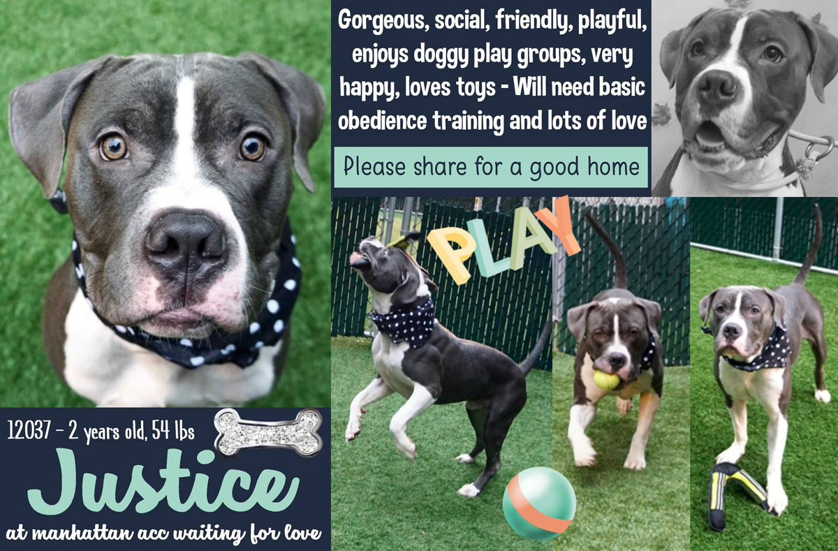 SWEET JUSTICE STILL ALIVE  http:// nycdogs.urgentpodr.org/justice-12037/  &nbsp;    #NYC KILL TARGET YOUNG BOY HANDSOME FRIENDLY PLAYFUL LOVE ALL HUMANS/DOGS LET ME LIVE CAN BE RESERVED ON LINE MSG  https://www. facebook.com/mldsavingnycdo gs/ &nbsp; …  MAY CONTACT HELPDOGS@URGENTPODR.ORG #NYC ANIMAL CARE CENTER STARTS DAILY KILLS AFTER NOON <br>http://pic.twitter.com/GaUqw5pzFp