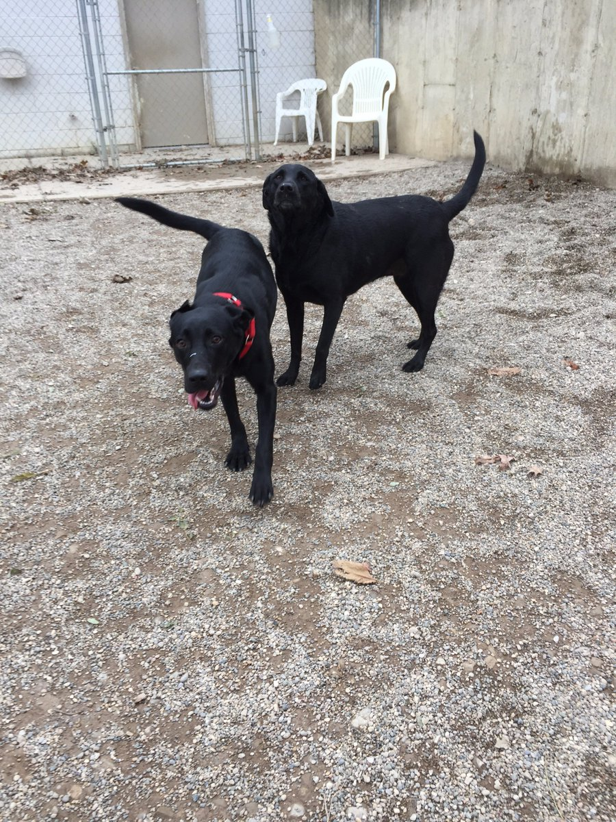 Buddy H. and Maizy have some Black Lab play time
