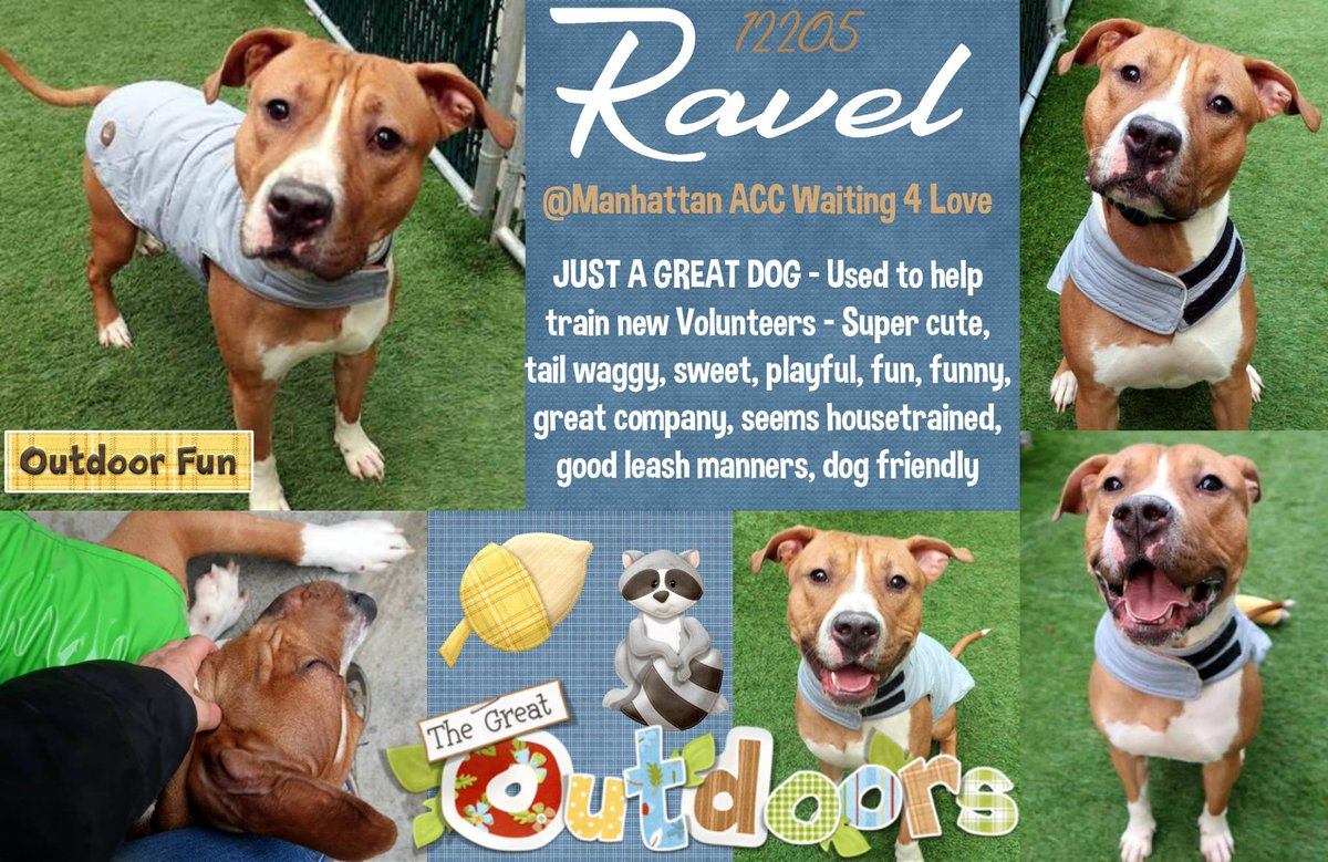 RAVEL  http:// nycdogs.urgentpodr.org/ravel-12205/  &nbsp;   #NYC KILL TARGET ADORABLE YOUNG BOY FRIENDLY AFFECTIONATE VERY INTELLIGENT HOUSETRAINED VOLUNTEER FAVORITE ADOPTABLE! CAN BE RESERVED ON LINE MSG  https://www. facebook.com/mldsavingnycdo gs/ &nbsp; …  HELPDOGS@URGENTPODR.ORG #NYC ANIMAL CARE CENTER STARTS DAILY KILLS AFTER NOON <br>http://pic.twitter.com/wiwuIMIwSX