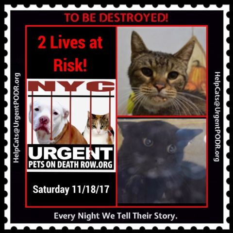 http:// nyccats.urgentpodr.org/tbd-cats-page/  &nbsp;    (2)Helpless Sweet Souls TBD 11/18/17!!!! Adopt/Foster/Pledge/RT!!!!! Killing starts at12PM #NYC #SaveUs  *Fostering Is FREE &amp; Will Save Their LIFE*   http:// nyccats.urgentpodr.org/help-is-here/  &nbsp;  <br>http://pic.twitter.com/zNPEXQ06Zl