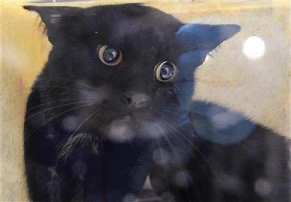 QUIET, LAID BACK &amp; VERY TIMID THIS BIG GORGEOUS GUY (named ISLE) IS MOSTLY HEALTHY, HAS BEEN THROUGH A LOT (tail injury)!  PLEASE #FOSTER #PLEDGE FOR &amp; CHERISH HIM!  #NYC #cats #SAVEME    http:// nyccats.urgentpodr.org/isle-12448/  &nbsp;   #RESCUE #HELPME #INEEDAREALHUMAN<br>http://pic.twitter.com/l0FWe7oyBM