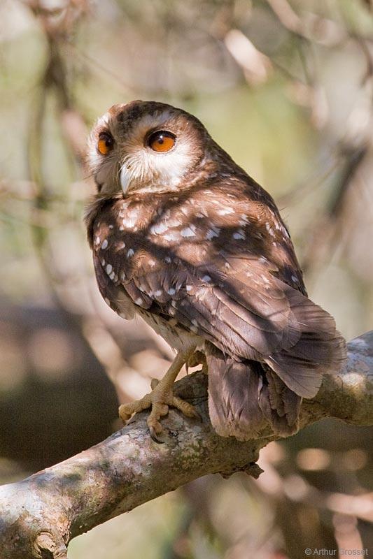 test Twitter Media - RT @_everybird_: BIRD #5,760 Bare-legged Owl (Otus lawrencii) https://t.co/XFsCzHHCKt