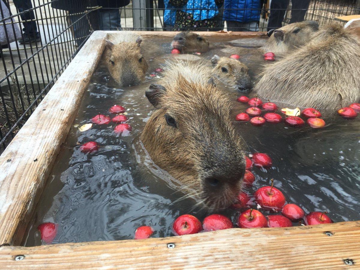 RT @suzakazoo: 本日と明日のカピバラ温泉は「姫りんごの湯」🍎 (11時~11時30分、14時~14時30分) カピバラたちは一生懸命りんごを食べますのでお早めにどうぞ♨ https://t.co/WaAUCXtuCT