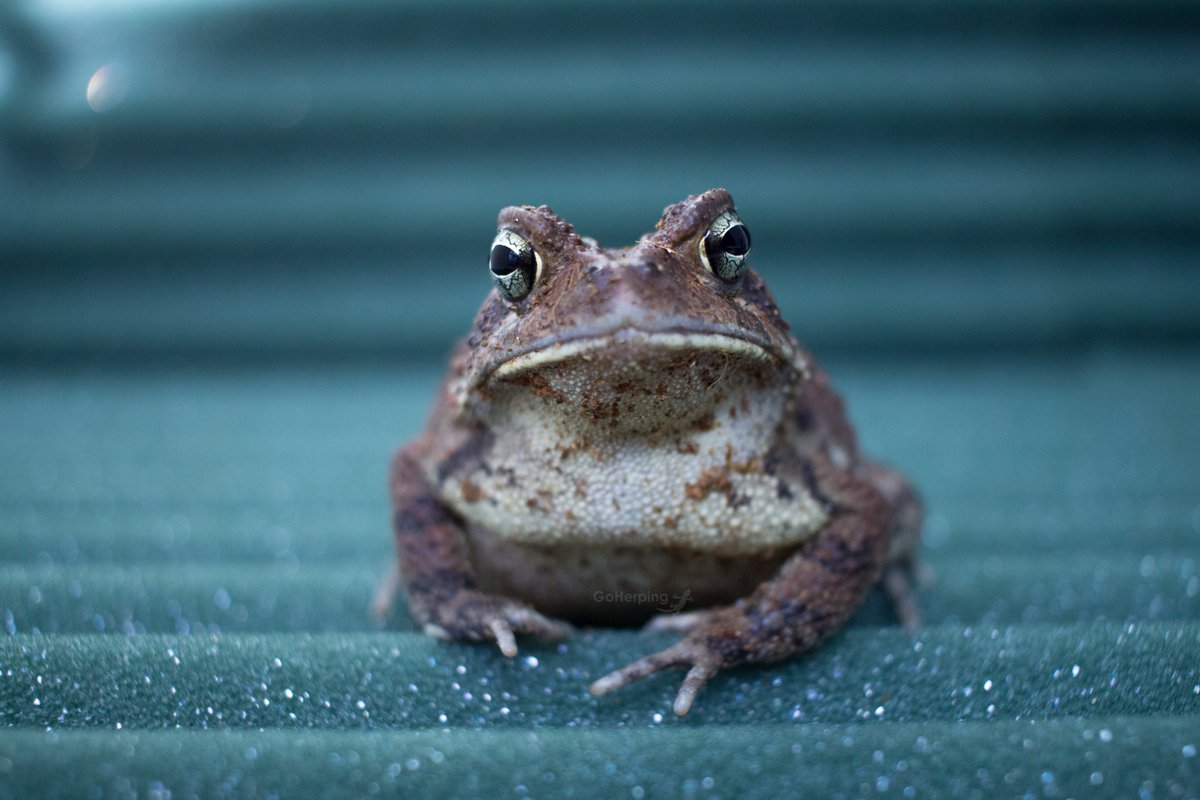 Yes, hello, please take a minute to appreciate this toad. #amphibians #reptiles #herps<br>http://pic.twitter.com/O3Vzj7hVV9