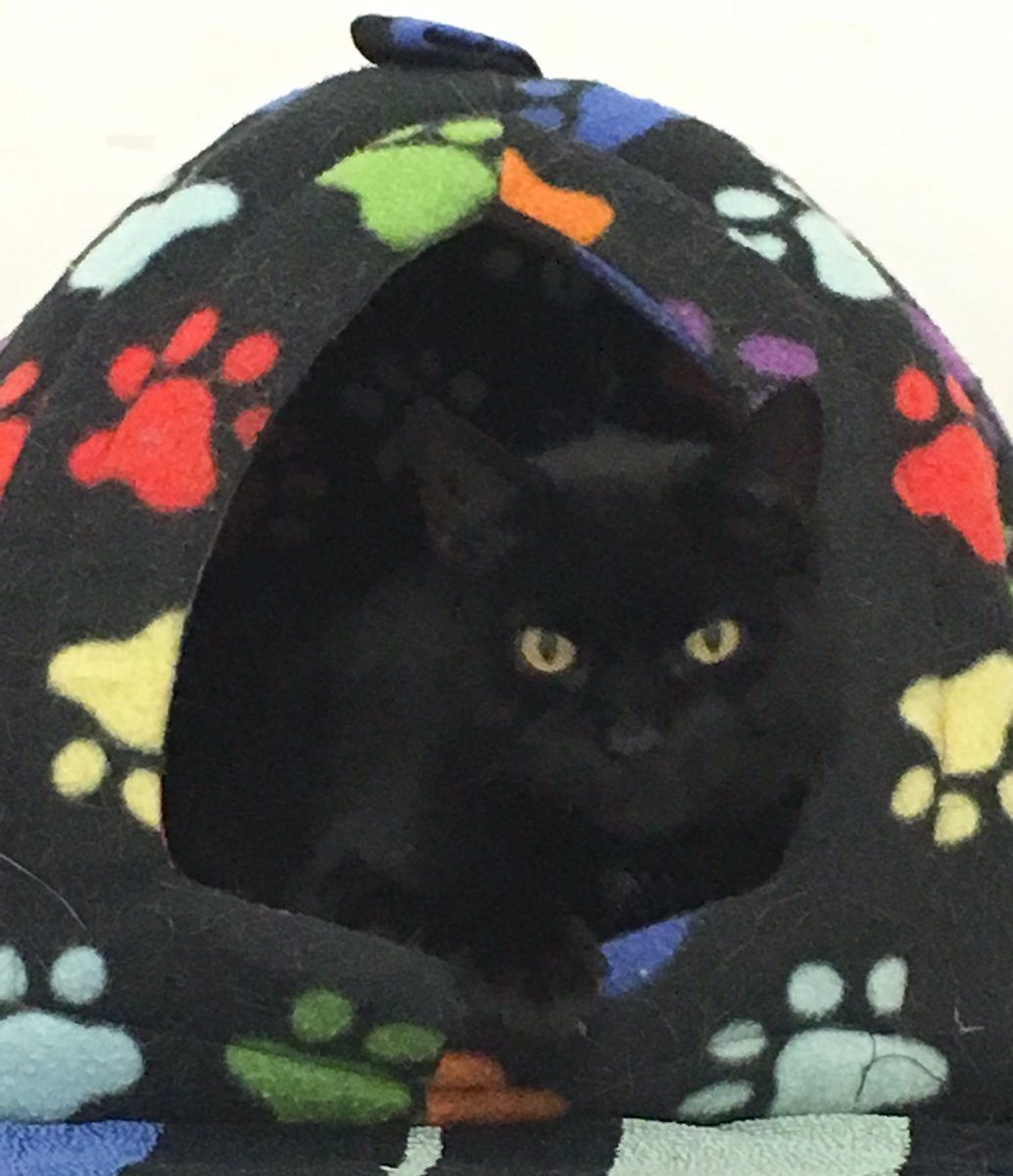 Aniseed is a new resident - this mini panther is looking forward to saying hello to the visitors on #caturday - the shelter is open 11-4 today  <br>http://pic.twitter.com/NmXqUPrIuI